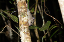A Madagascar Rat Climbs On The Branches Of A Tree