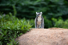 The Funny Ring-tailed Lemurs I...