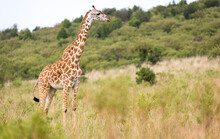 Masai Giraffe In The Kenyan Sa...