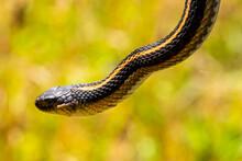 Western Terrestrial Garter Snake