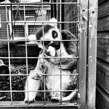 Close-up Of Lemur In Cage At Zoo