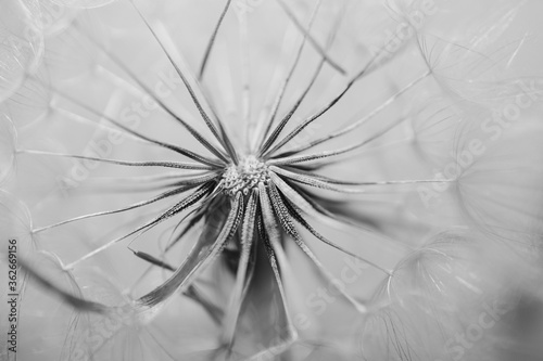 Fototapety, obrazy: summer dandelion in close-up on a light background