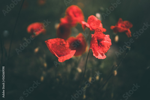 Fototapety, obrazy: poppies growing among green grass on a summer day