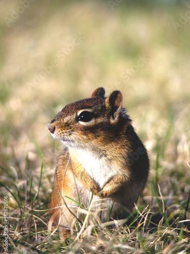 Photo Curious Chipmunk