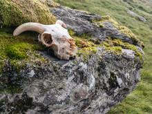 The Horned Goat Skull On A Boulder In Scottish Nature