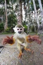Macaco-de-Cheiro (Saimiri Sciu...