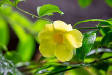 A Yellow Native Flower Of Mada...