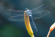 Large Dragonfly Sits On The Bu...