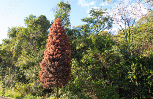 Pine marsh (Taxodium distichum) highlighted in native vegetation in the state of Canvas Print