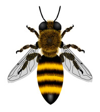 Macro Drawing Of A Bee With Transparent Wings Isolated On White. Vector Illustration