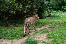 Side View Of Cheetah Walking On Land In Forest