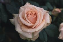 Closeup Of Pink Rose In Bush With Rain Drops On Petals