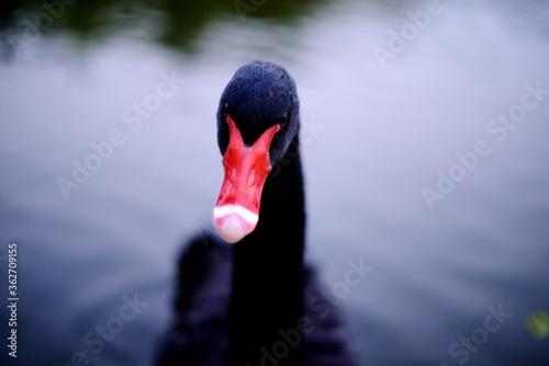 Leinwand Poster Close-up Of Swan Swimming In Lake