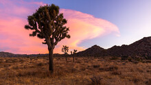 A Large Yucca Cactus Silhouetted During A Colorful Sunset In Joshua Tree National Park.