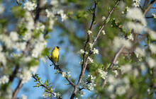 Yellow Goldfinch Sitting In A Tree That Is Blooming In Springtime.