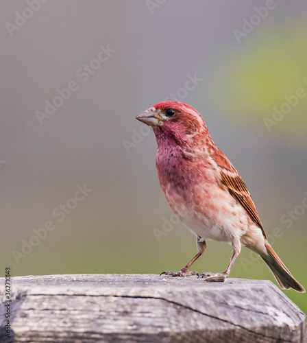 Photographie Close up of purple house finch bird with blurred background.