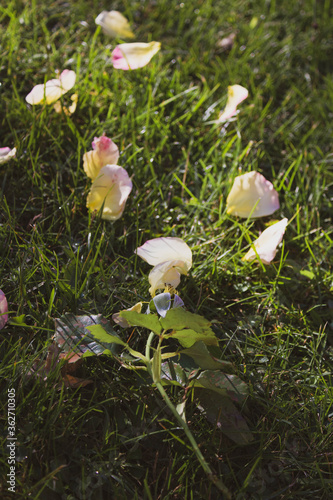 rose with fallen petals on the grass Canvas Print
