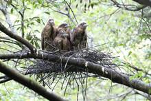 Japanese Night Heron (Gorsachius Goisagi) Nesting In Japan