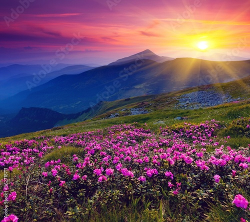 Fototapety, obrazy: Scenic View Of Pink Flowering Plants Against Sky During Sunset
