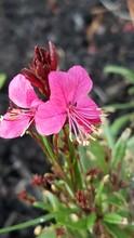 """Closeup Of """"White Guara""""  - Beeblossom In Brilliant Pink"""