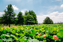 Lotus Flower Field Under Blue ...