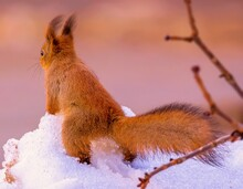 Red Squirrel On White Snow In Moscow