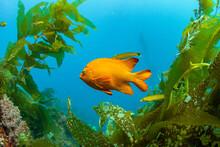A Garibaldi, California's State Fish, Swimming In The Pacific Ocean Near Avalon, Catalina Island.