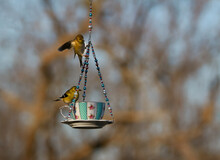 Two American Gold Finches Playing On A Teacup Bird Feeder
