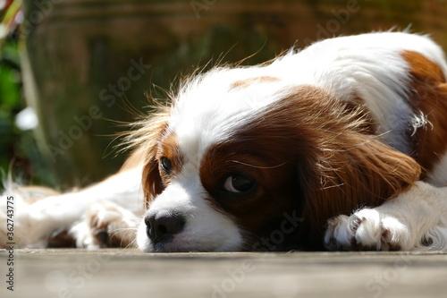 Photo Close-up Of Dog Resting