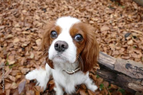 Fototapeta High Angle Portrait Of A Cavalier King Charles Spaniel Dog
