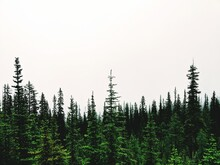 Pine Trees In Forest Against Clear Sky