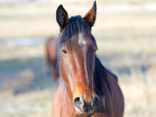 Wild Nevada Mustang Horse Close-up Portrait.