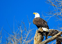 Bald Eagle Perched In A Tree Looking Up Into A Blue Sky.