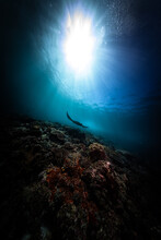 Stingray Swimming In Sea