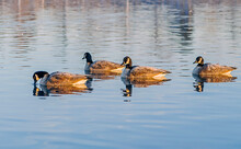 Four Frost Covered Geese Swimming On A Blue Lake.