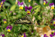 Papilio Machaon (the Old World Swallowtail) On The Violet-yellow Flower Of Viola Tricolor (Johnny Jump Up, Heartsease), Close Up, Selective Focus, Blurred Background