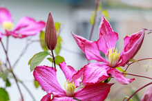 Beautiful Pink Clematis Flowers