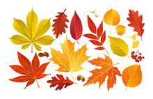 Vector Set Of Colorful Autumn Fall Leaves And Berries. Isolated Forest Elements With Oak, Maple, Ginko, Ash, Chestnut, Poplar, Acorn, Rowan Tree Leaf. Leaves For Seasonal Holiday Greeting Card Design