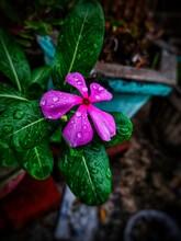 Close View Of Beautiful Pink F...