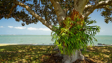 Staghorn Fern Growing In A Moreton Bay Fig Tree In A Grassy Foreshore Park, With Sea And Sky In The Background. Victoria Point, Redlands, Queensland, Australia.