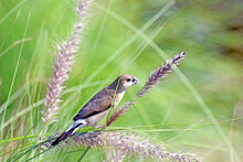 An Indian Silverbill Bird (or White-throated Munia) Perched On The Purple Fountain Grass (Pennisetum) At A Park In Sharjah, UAE