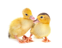 Ducklings In Studio