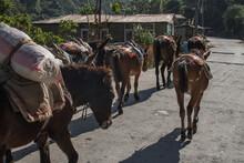 A Few Mules At Annapurna Circuit, Nepal