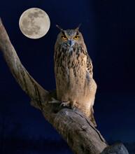 Eagle Owl Eyes  At Moonlight I...