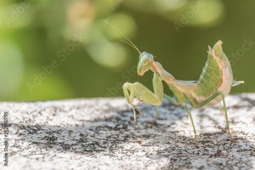 Fototapeta Praying Mantis, Corfu