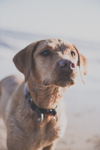 Close Up Portrait Of Healthy, Happy Labrador Retriever Dog Obediently Waiting For Master's Command