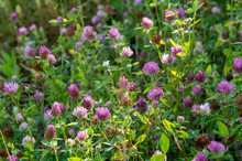 The Red Clover Plant, Close-up...
