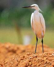 Little Egret Shot At Malacca M...