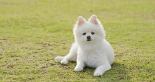 White Pomeranian Lying On Green Grass