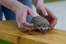 Little Hedgehog In The Hands. ...
